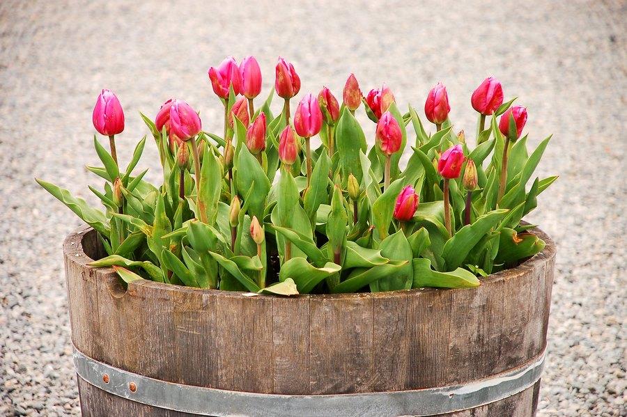 maceta hecha con barricas de madera de roble y tulipanes