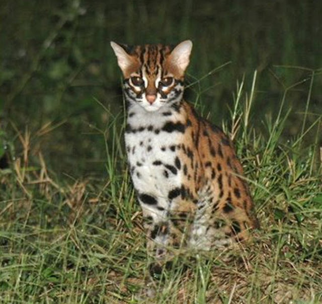 Eksotisnya Kucing Hutan Sebagai Peliharaan