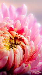 wallpaper hd bunga pink close up whatsapp mobile