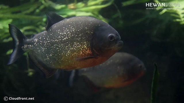 Gambar dan Foto Ikan Bawal