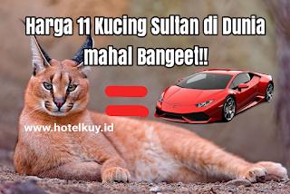 harga kucing termahal di dunia kucing caracal savannah