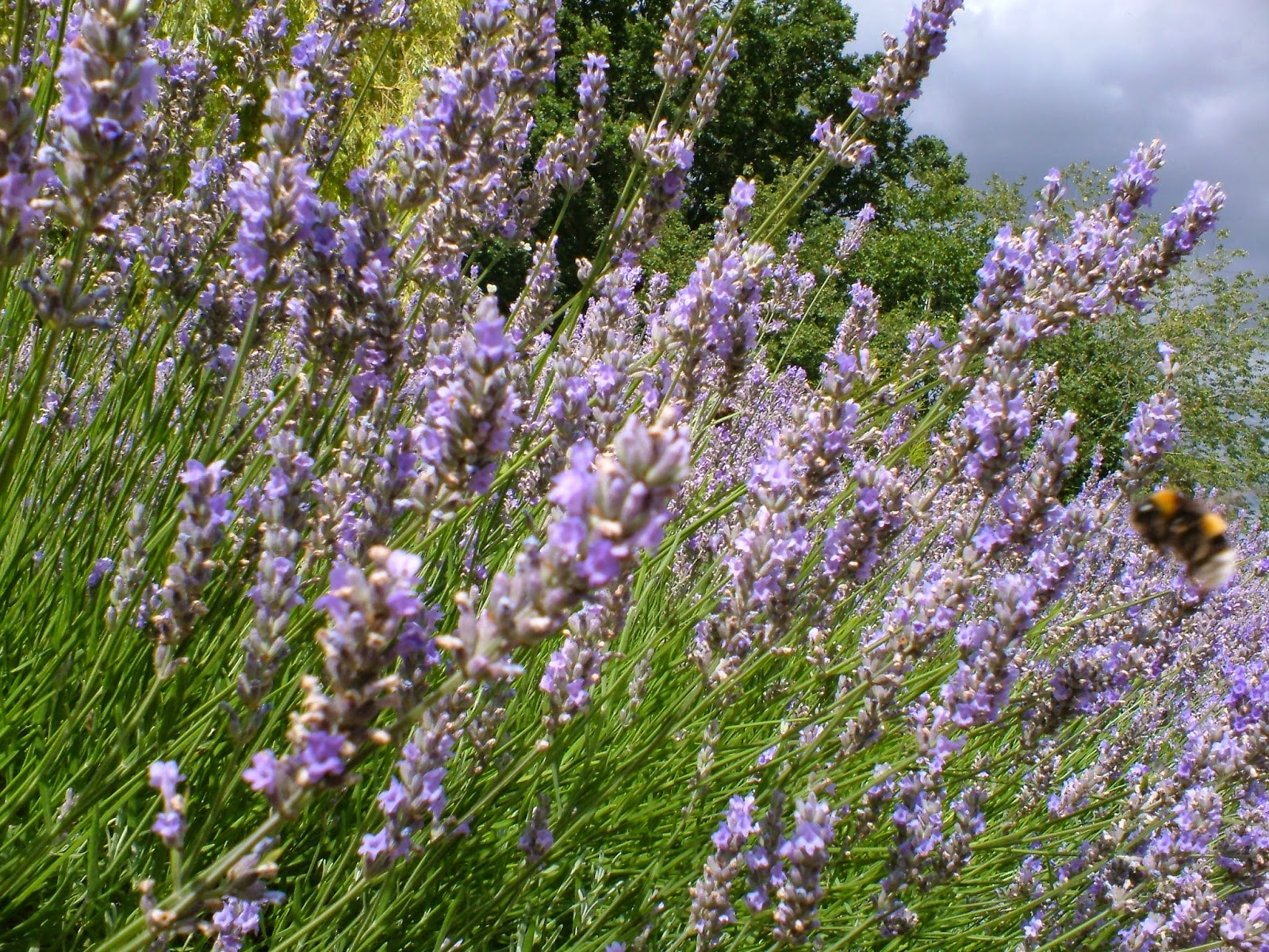 Picture of English Lavender in a border