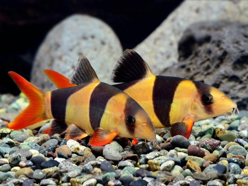 Mengenal Dan Merawat Ikan Botia Lovedfish