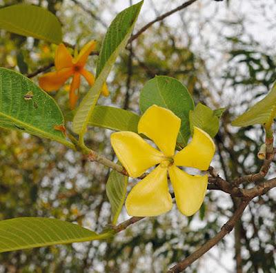 ต้นคำมอกหลวง, ผ่าด้าม ไม้ดอกพุดของไทย