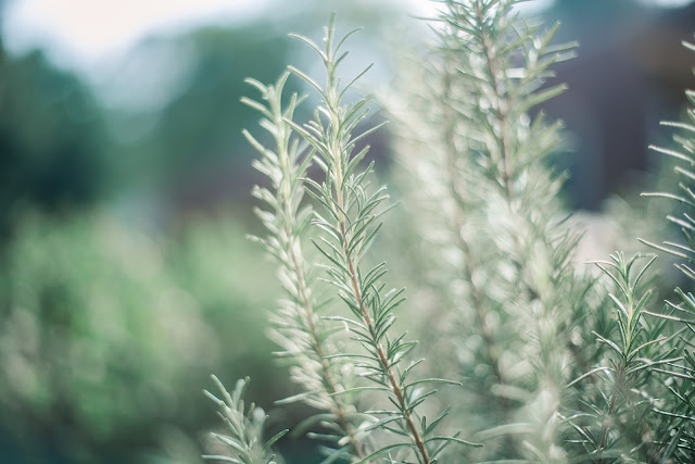 Protective and antioxidant rosemary