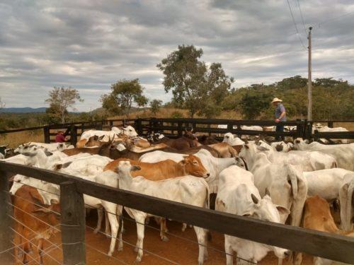 Gado furtado em Itapaci é recuperado em fazenda no município de Crixás