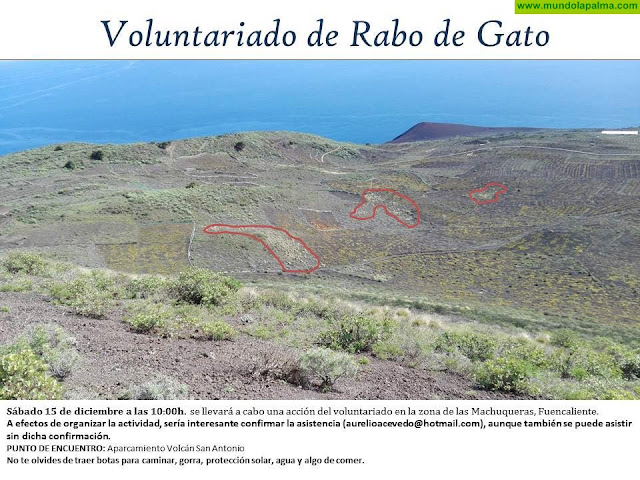 Acción del voluntariado contra el Rabo de Gato en la zona de Las Machuqueras en Fuencaliente