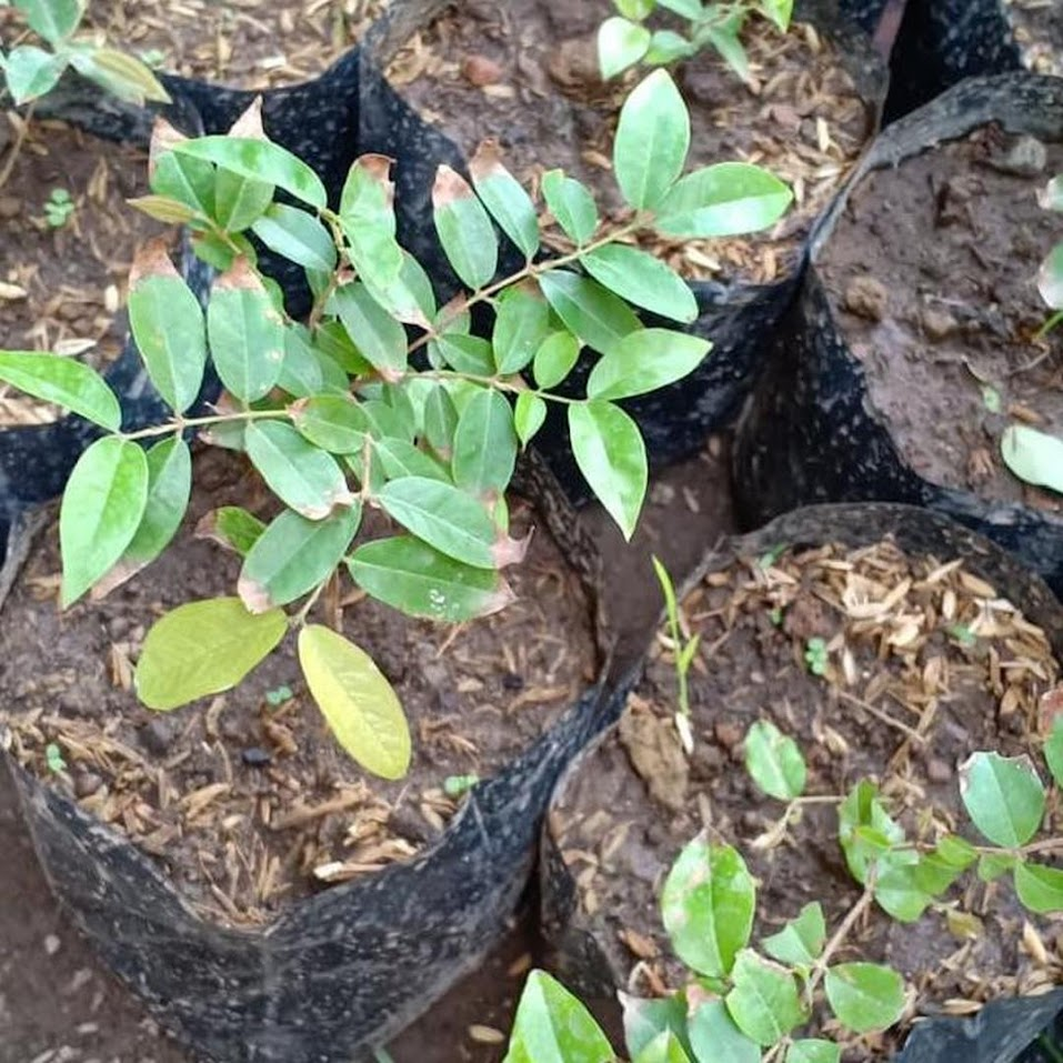 Z3Ro Bibit Pohon Buah Anggur Brazil Jenis Preco Genjah Cepet Berbuah Tangerang Selatan
