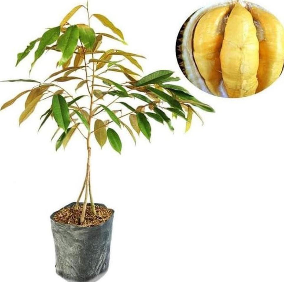 premium A Bibit Tanaman Buah Durian Montong Kaki 3 Ori terlaris Manado