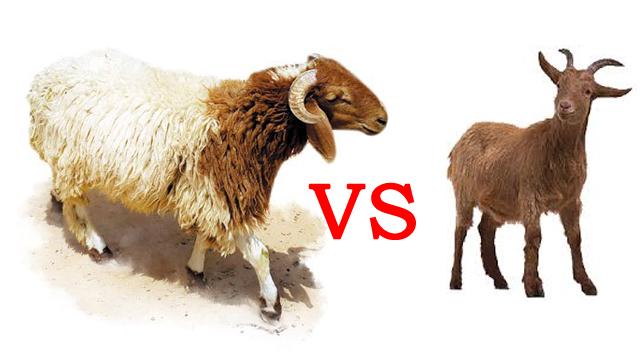 أيهما أفضل في التربية : الماعز أم الأغنام ؟