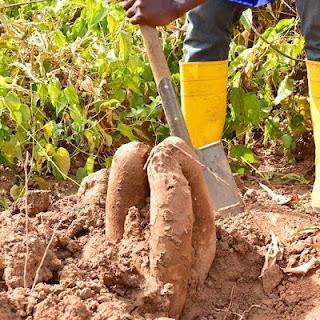 Vice President's Wife;Mrs Dolapo Osinbajo Pictured Harvesting Yam In Her Backyard 2