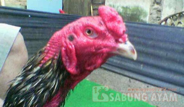Membuat Kulit Ayam Aduan Menjadi Merah