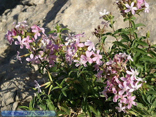 Saponaire officinale - Saponaria officinalis