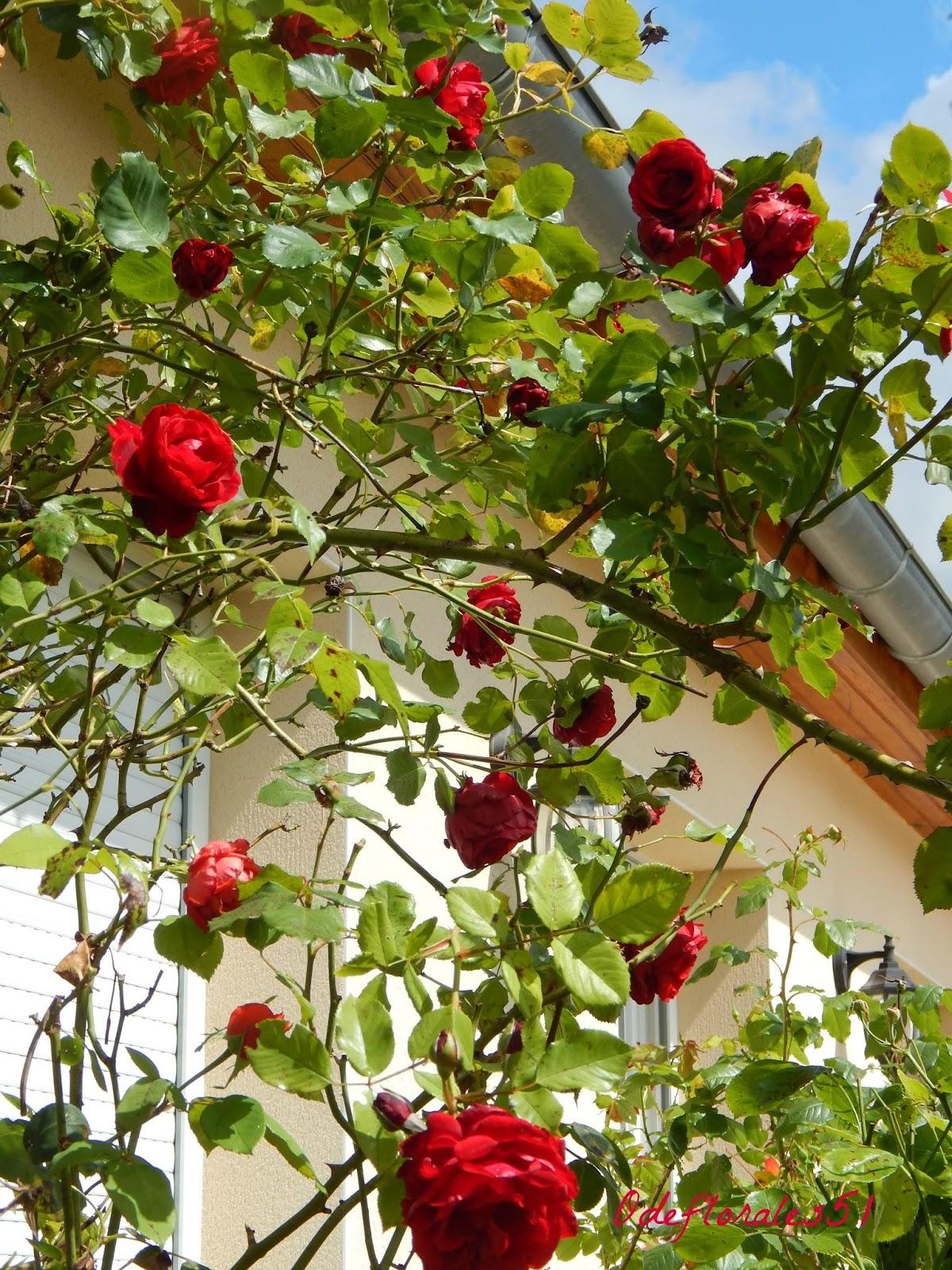 beaut s florales rosier papa meilland. Black Bedroom Furniture Sets. Home Design Ideas