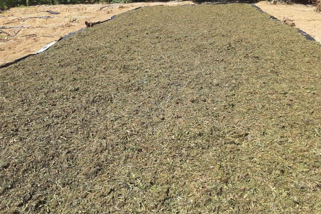 Plantação com 20 mil pés de maconha é localizada na Chapada Diamantina