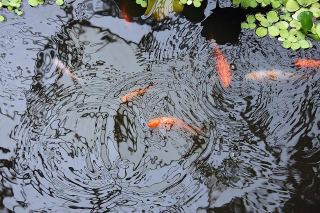 Estanque de peces dorados