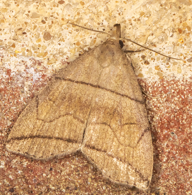 Small Fan-foot, Herminia grisealis. On the wall near my garden light trap in Crowborough.