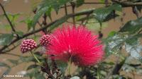 Red powder puff - Waimea Valley, Oahu, HI