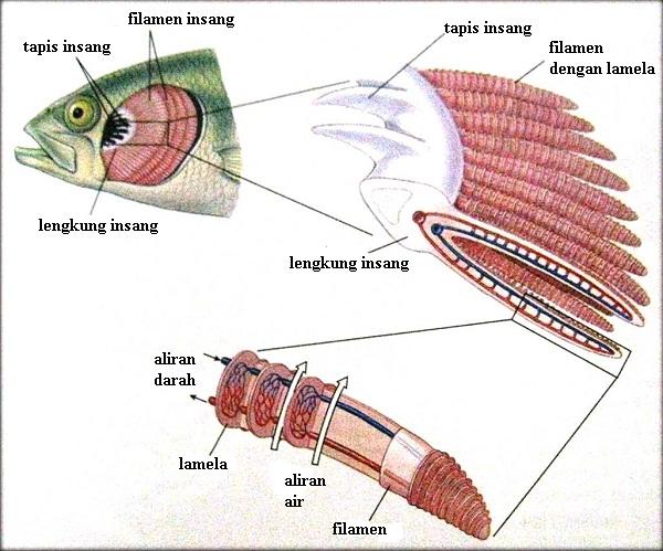 Bagaimana Ikan Bernapas Di Dalam Air