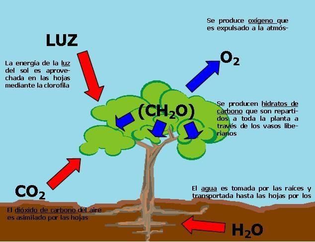 El mundo de las plantas fotosintesis al agua y las for Porque son importantes los arboles wikipedia