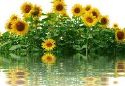 background gambar bunga matahari