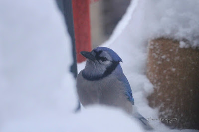 "This picture features a lone blue jay visiting an urban garden (in NYC) . At first glance, it seems the bird seems to be looking forlornly at snow (at least twelve inches) that has accumulated. Bluejays are featured in my three volume book series, ""Words In Our Beak."" Info re these books can be found within another post on this blog @ https:// www.thelastleafgardener.com/2018/10/one-sheet-book-series-info.html"