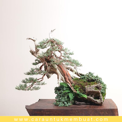 Bonsai Juniperus Occidentalis (Sierra) 5