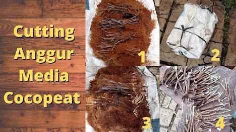 Cara Menumbuhkan Akar Cutting Anggur Media Cocopeat