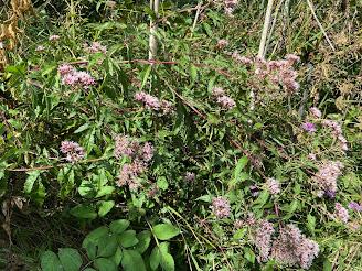 [Asteraceae] Eupatorium cannabinum - Holy Rope, Hemp Agrimony (Canapa acquatica)