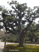 Old tree with a 'cane' - Kenroku-en Garden, Kanazawa, Japan