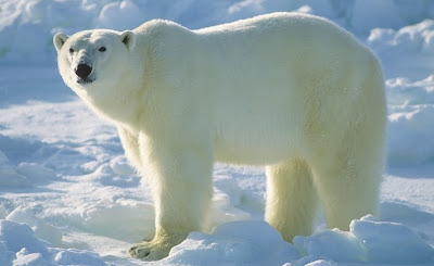 interesting facts about polar bears
