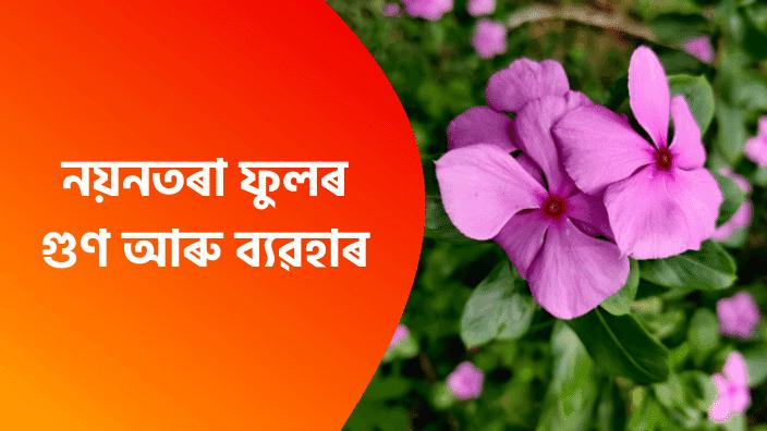 নয়নতৰা ফুলৰ গুণ আৰু ব্যৱহাৰ Assamese Health Tips For Assamese | Nayantara Ful