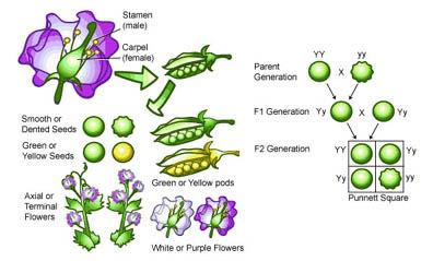 Ejercicios de genetica mendeliana resueltos