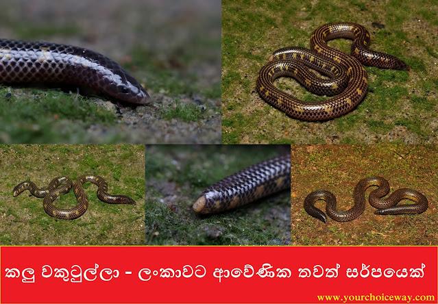 කලු වකුටුල්ලා - ලංකාවට ආවේණික තවත් සර්පයෙක් (Gray's Earth Snake)