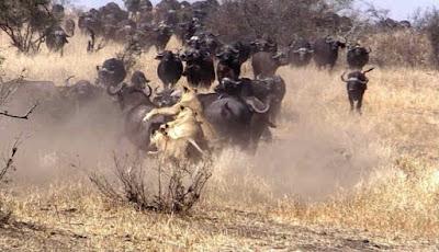 Singa berburu kerbau liar