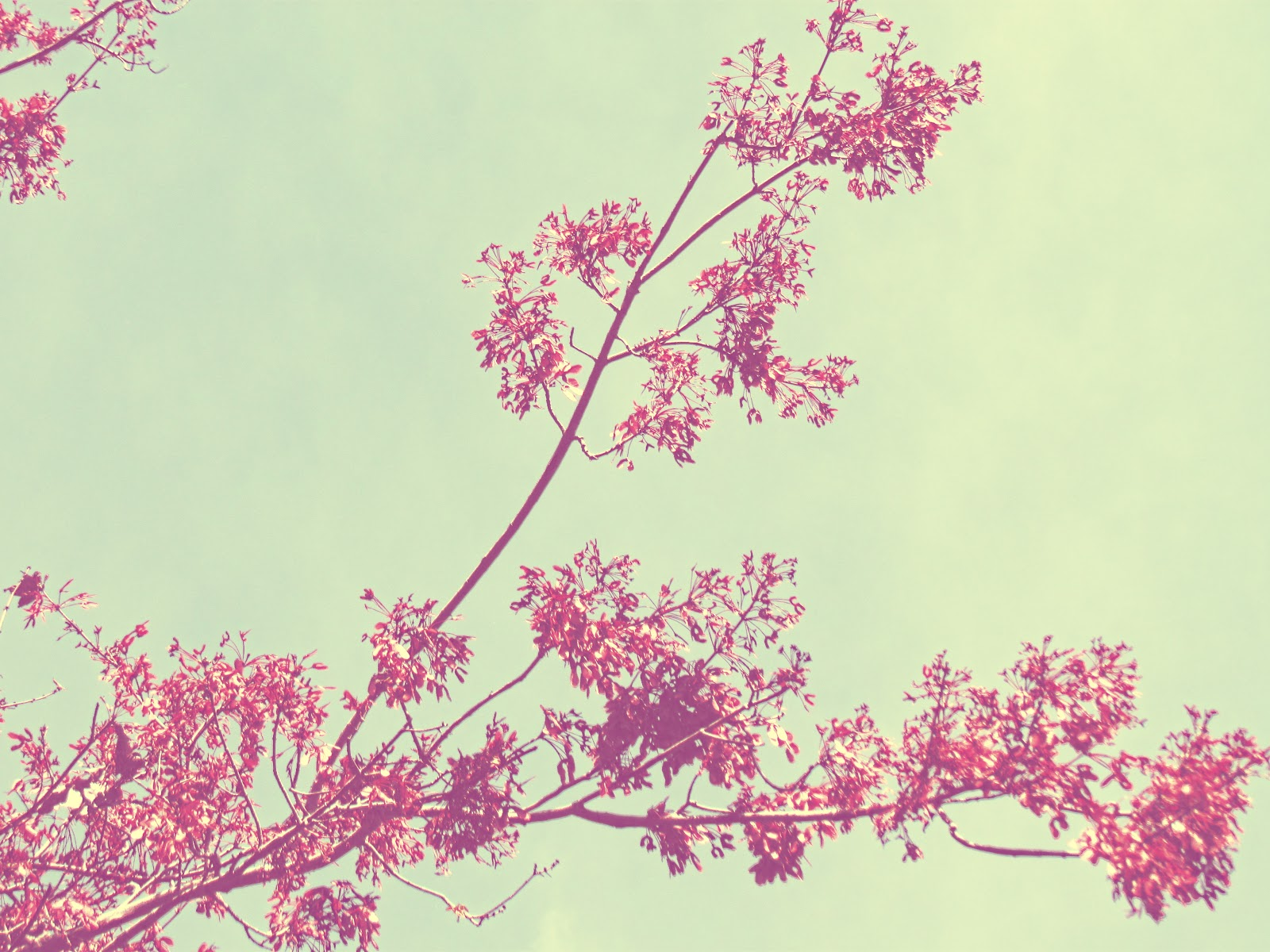 A tree with pink leaves using a soft baby pink filter on it