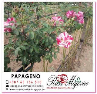 Roye stablačica Papageno