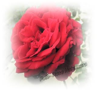 encantadora rosa vermelha