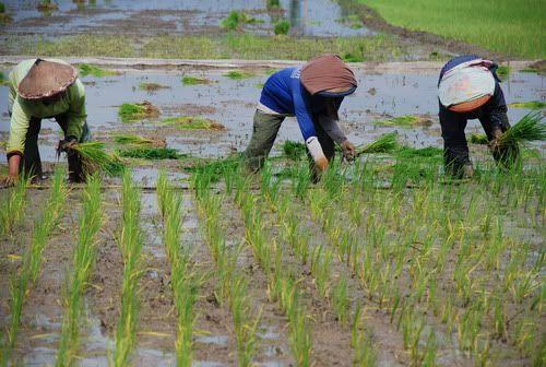 Antisifasi Kekeringan, Petani Diminta Tunda Masa Tanam Padi