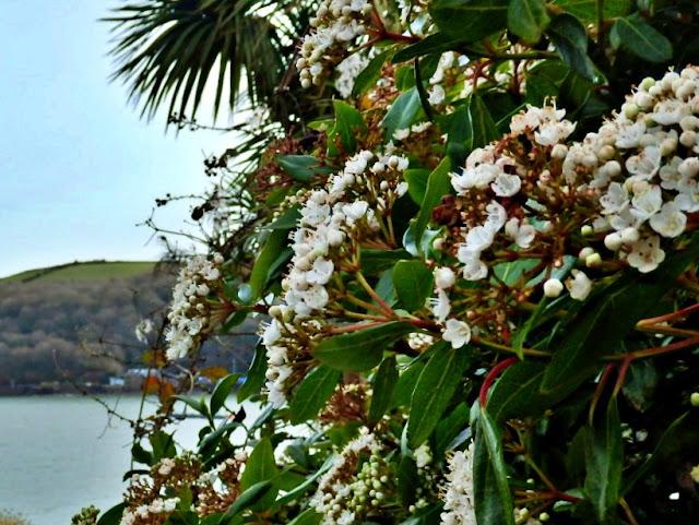 Flowers in February at Fowey, Cornwall