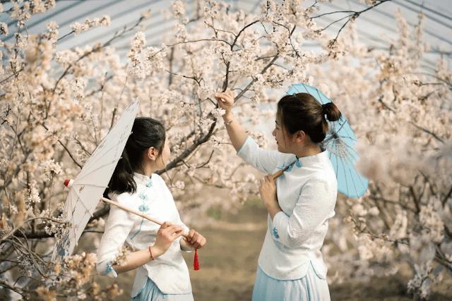Vào mùa Xuân, các sinh viên và cư dân xung quanh Đại học Đồng Tế sẽ đến xem khuôn viên Thượng Hải với nhưng hàng cây hoa anh đào rực rỡ .