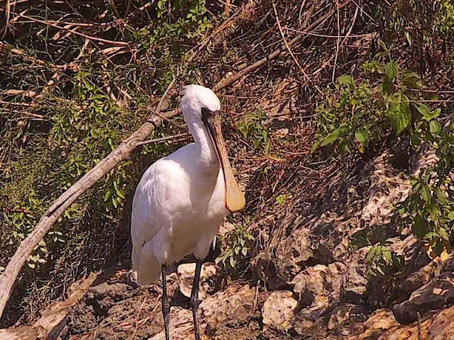 bird, Black-faced Spoonbill. Endangered Species