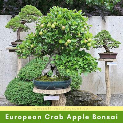 European Crab Apple Bonsai