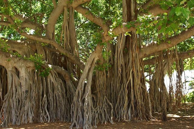 banyan tree , banyan tree leaves powder , benefits of banyan tree , benefits of bargad in hindi
