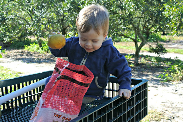 Orange picking in Orlando, Florida