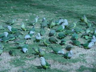 Kumpulan Jenis dan Warna Burung Lovebird Terbaik