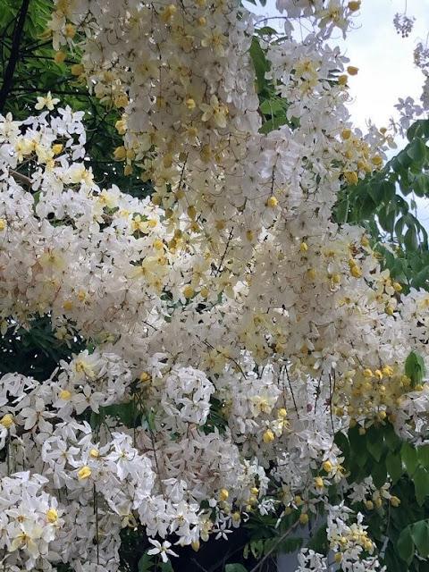 Rainbow Shower Tree 'Queen's Hospital White'