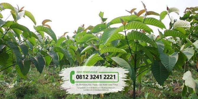 Jual Bibit & Benih Biji Pohon Jabon Merah