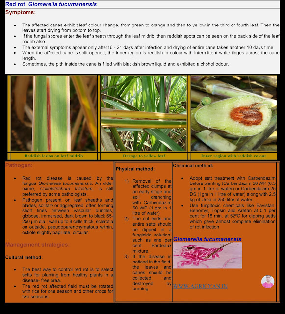 Red Rot of Sugercane