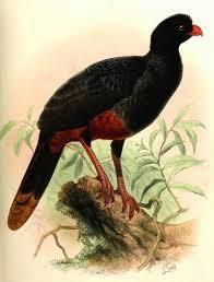 Paují cola castaño: Mitu tomentosum